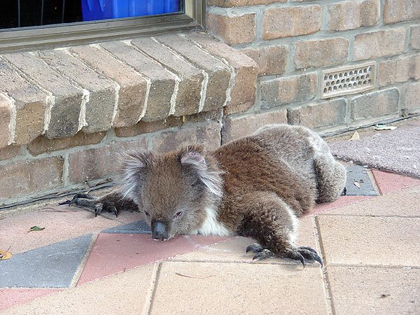 koala exhausted
